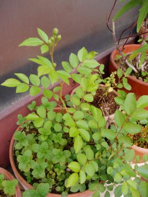 tsubomi_convert_20080427161311.jpg