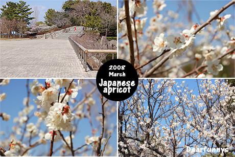 Japanese-apricot_20080315.jpg