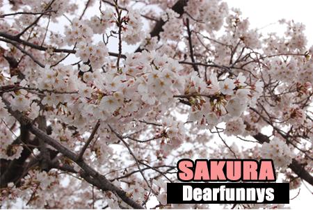 SAKURA_1-080330.jpg