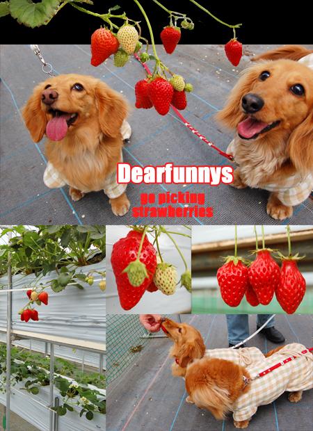strawberry_20080419.jpg