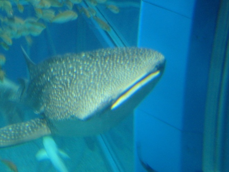 ジンベイザメ