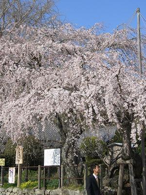 豊川のしだれ桜