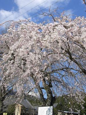 桜 は 毛虫に注意!