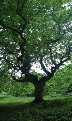 天狗の住む木…