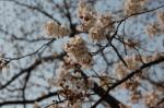 代々木公園の桜の画像2