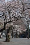 代々木公園の桜の画像1