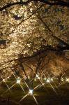 二条城の桜の画像2