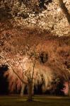 二条城の桜の画像3