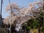 横浜での桜1