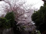 横浜での桜2