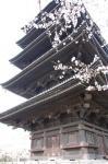 東寺の桜の画像1