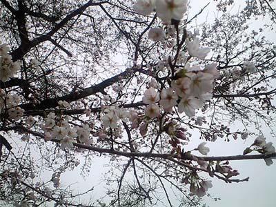 るり渓の桜