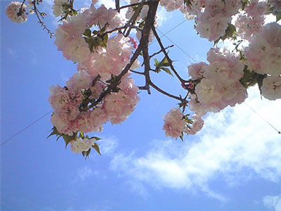八重桜00