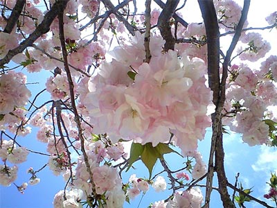 八重桜01