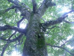 ◆ぶなの木を下から