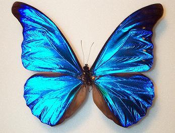 Morphidae.jpg