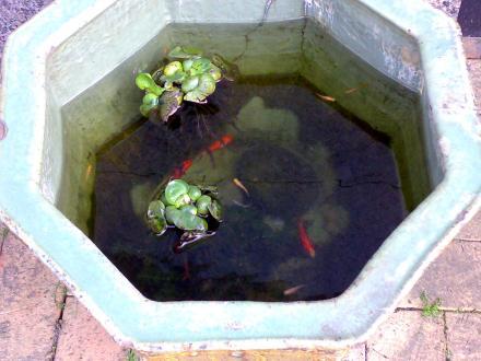 水盤の金魚