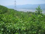 橋本のとある柿畑