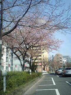080323_1322~0001千川通りの早咲きの桜