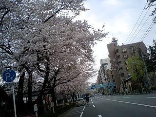 080328_1502~0001千川通りの桜2