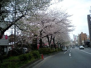 080328_1505~0001千川通りの桜3