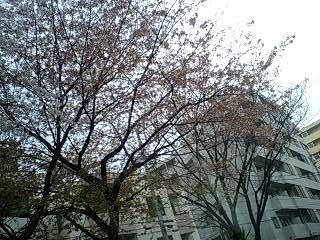 080328_1506~0001千川通りの桜4