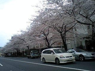 080328_1635~0001千川通りの桜5
