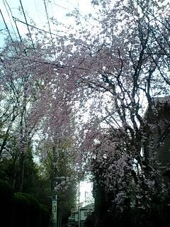 080404_1159~0001家の近所の枝垂桜