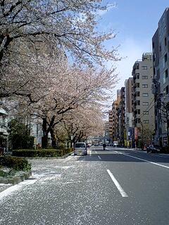 080404_1214~0001散った花びらと桜並木