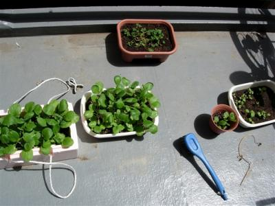 家庭菜園inバルコニー
