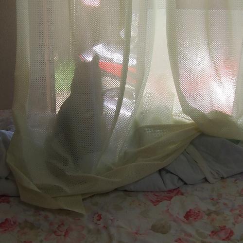 1カーテン猫