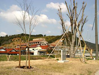 紅葉植栽記念碑とノムラモミジ
