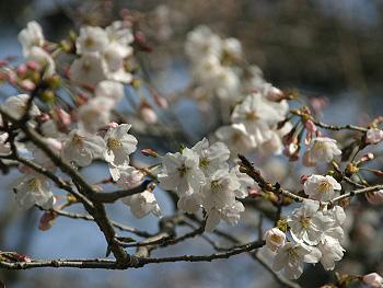 金麗社の桜