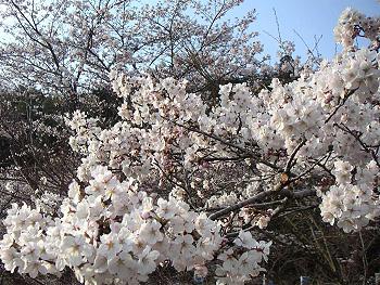 大正洞/秋吉台エコ・ミュージアム周辺の桜-5