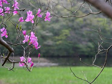 ため池近くのヤマツヅジ