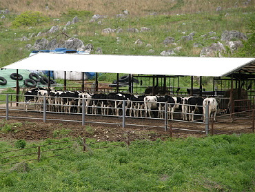 秋吉台と牛