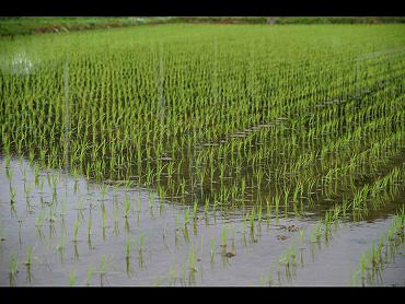 稲が豊かに実ることを・・・