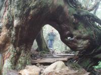 二代くぐり杉1