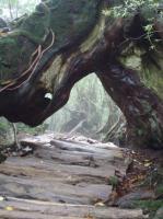二代くぐり杉2