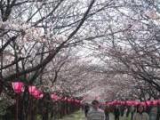 080404桜①