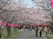 080404桜②