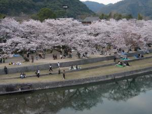080405錦帯橋の桜②