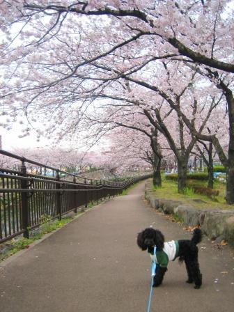 towaと桜