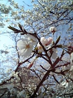 2008桜見納め