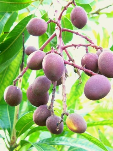 mango0301.jpg