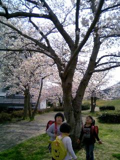 土手の桜③