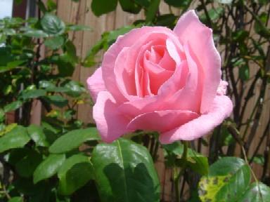 pinkrose20080511.jpg