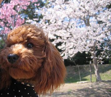 桜 モコ1