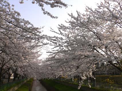 sakura-草生津川