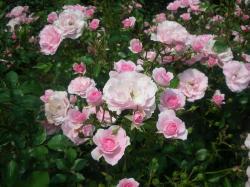 pink_bara6.jpg